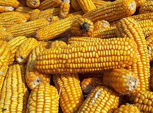 фолиевая кислота в кукурузе